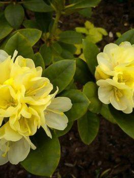 Yellow Rhododendron Lemon Dream