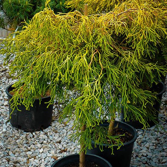 lemon twist hinoki cypress tree form for sale online the