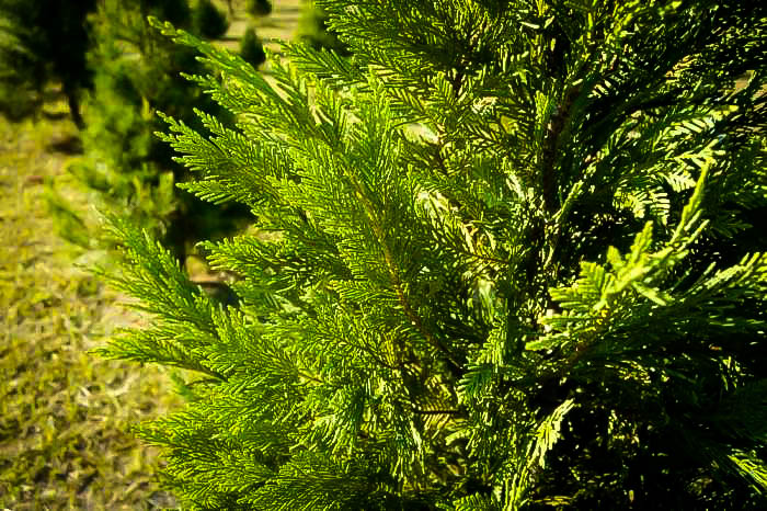 Leyland Cypress Branches