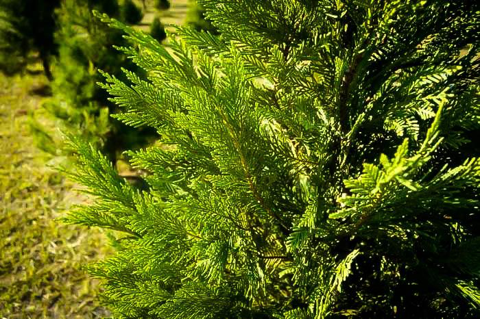Leyland Cypress Branches