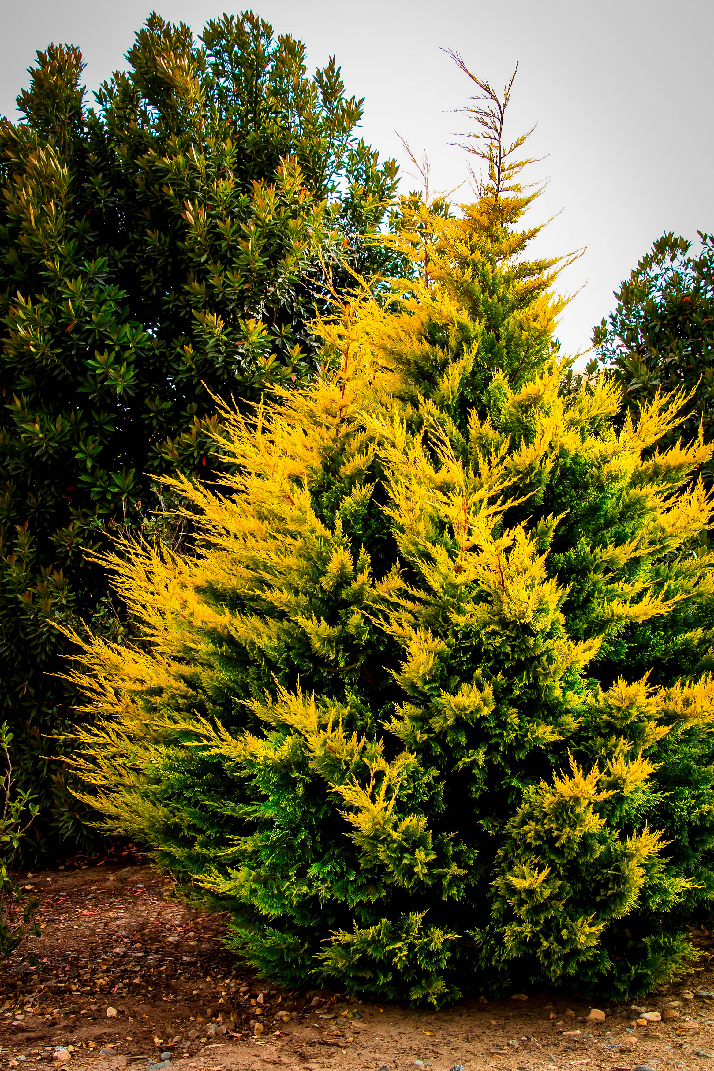 Trees Of Santa Cruz County Nyssa Sylvatica: Gold Rider Leyland Cypress Trees For Sale