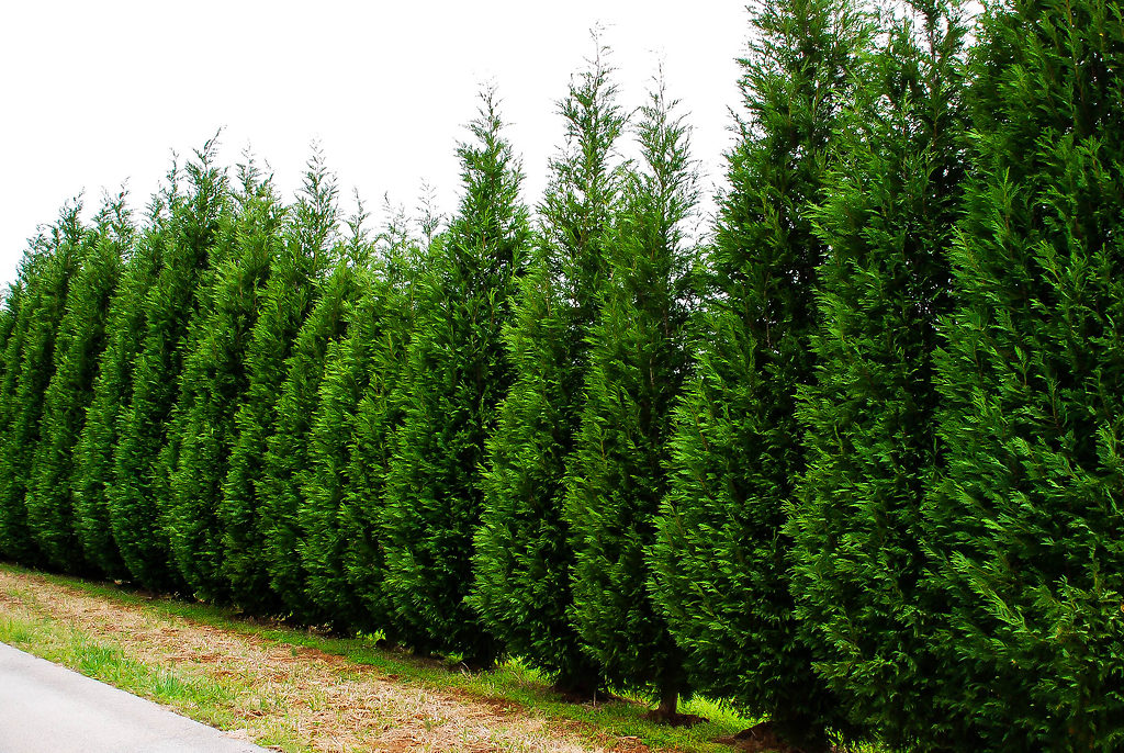Growing leyland cypress trees the tree center for Cipresso leyland