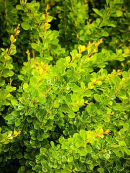 Lime Glow Japanese Barberry