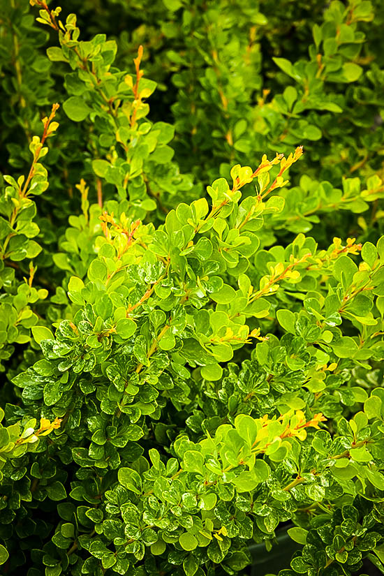 Lime Glow Japanese Barberry Shrubs For Sale The Tree Center
