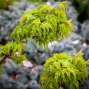 Lion's Head Japanese Maple Tree Leaves