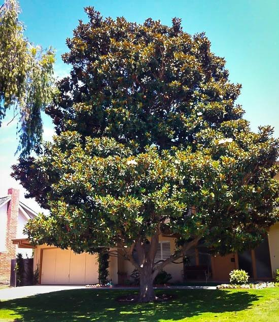 Mature magnolia trees