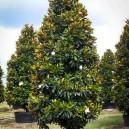 little-gem-magnolia-2