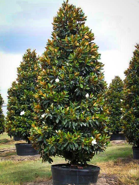 Little gem magnolia the tree center for Magnolia tree