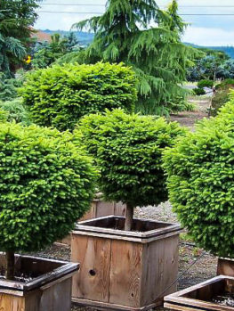 Little Gem Norway Spruce Tree Form