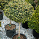 little-gem-norway-spruce-3