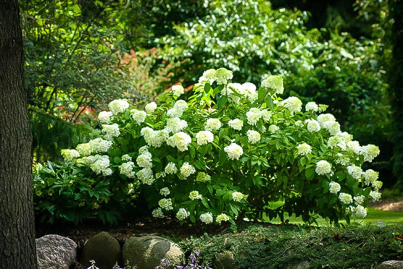 Little Lamb Hydrangea For Sale Online The Tree Center