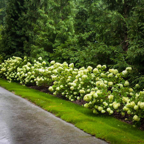 Little Lime Hydrangea For Sale Online The Tree Center