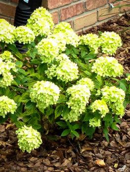 Buy Hydrangeas Hydrangeas For Sale Online The Tree Center
