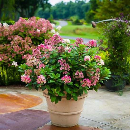 Little Quick Fire Hydrangea For Sale Online The Tree Center