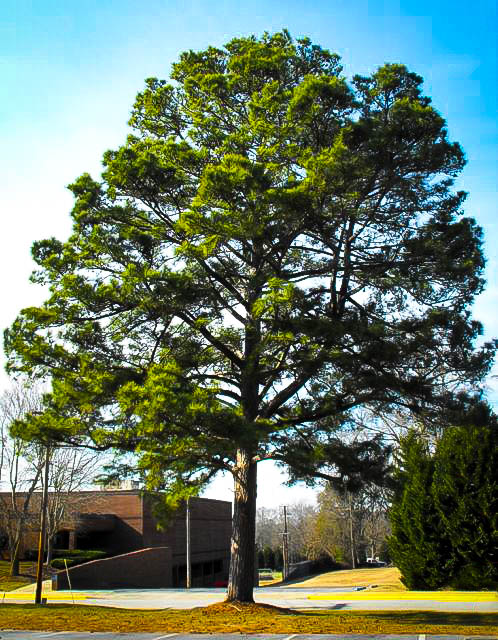 Loblolly Pine Trees For Sale Online The Tree Center