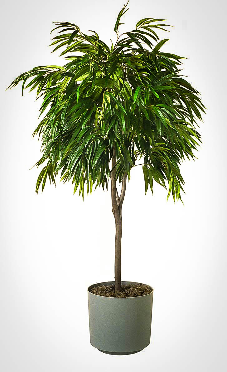 Long Leaf Ficus Tree The Tree Center