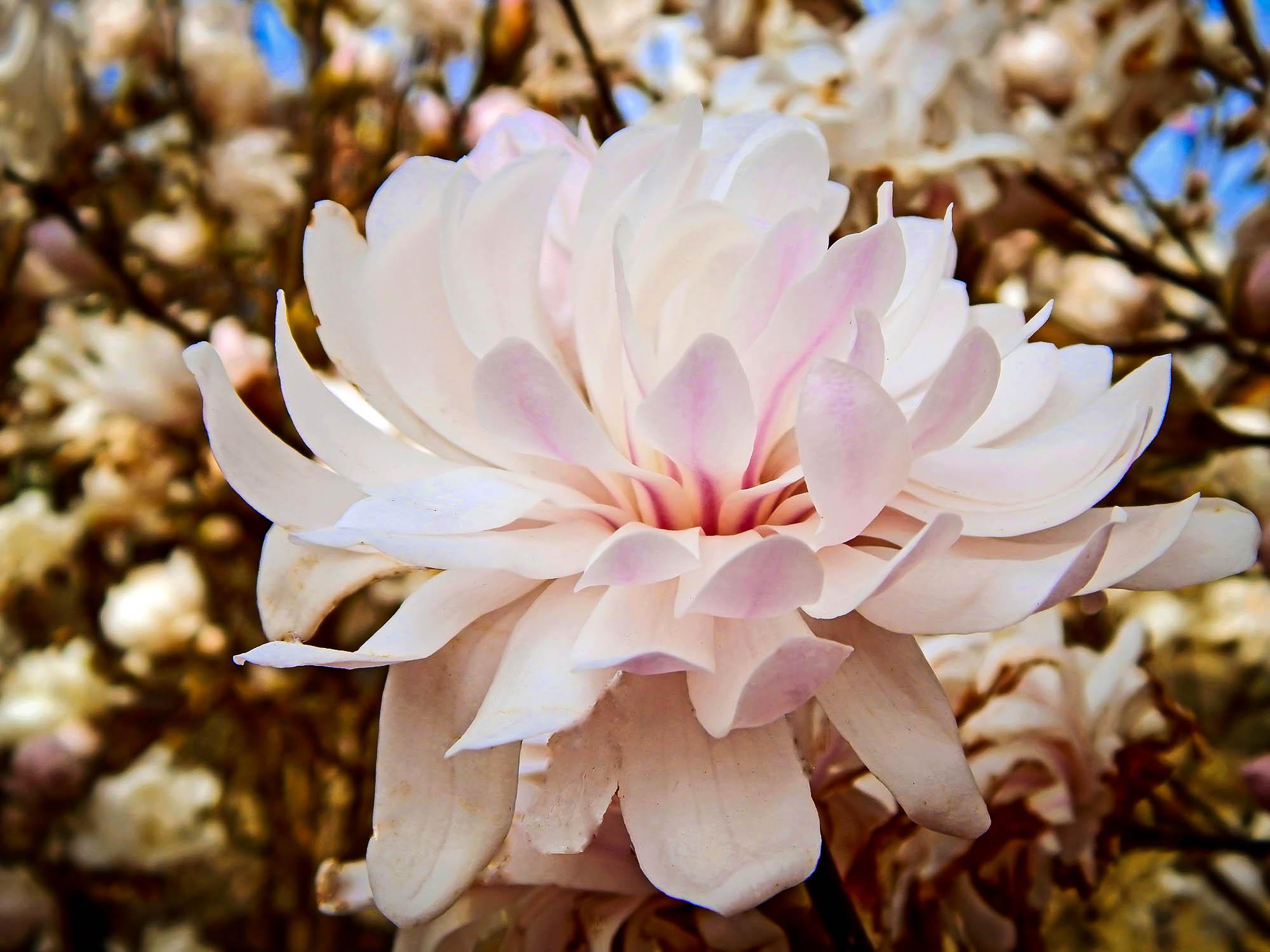 Centennial Blush Magnolia Trees For Sale The Tree Center