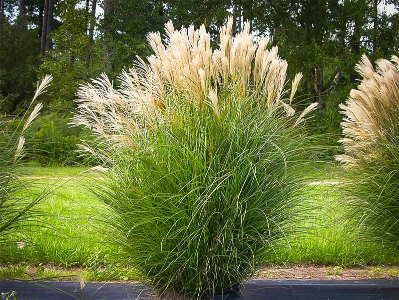 Maiden Grass For Sale Online The Tree Center