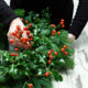 Garden Plants for Holiday Decorating