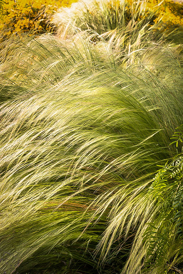 Mexican Feather Grass For Sale Online The Tree Center