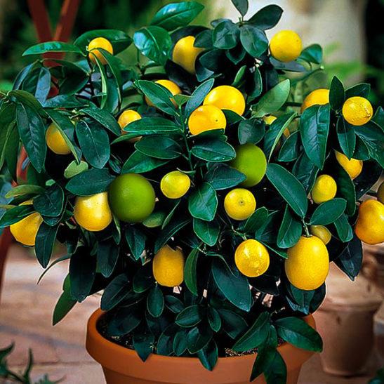 2 In 1 Meyer Lemon Persian Lime Bush The Tree Center