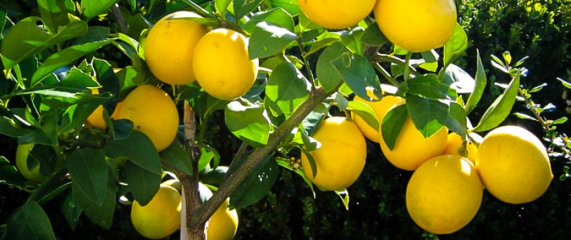 Meyer Lemon Tree Guide | The Tree Center™