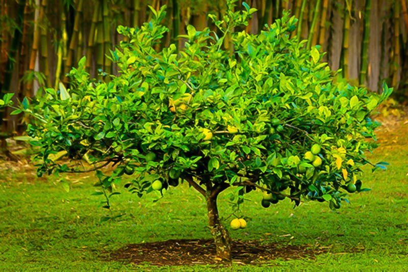 Fully Meyer Lemon Tree