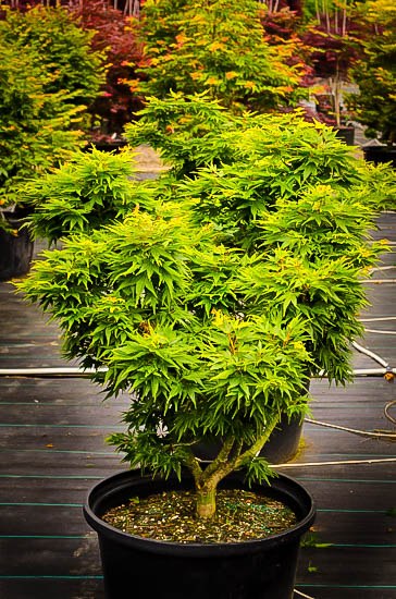 Mikawa Yatsubusa Dwarf Japanese Maple For Sale The Tree Center