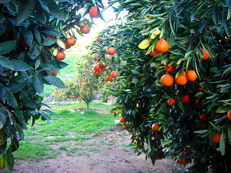 Minneola Tangelo Tree For Sale Online The Tree Center