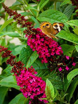 Butterfly Bushes Buy Butterfly Bush Online The Tree Center