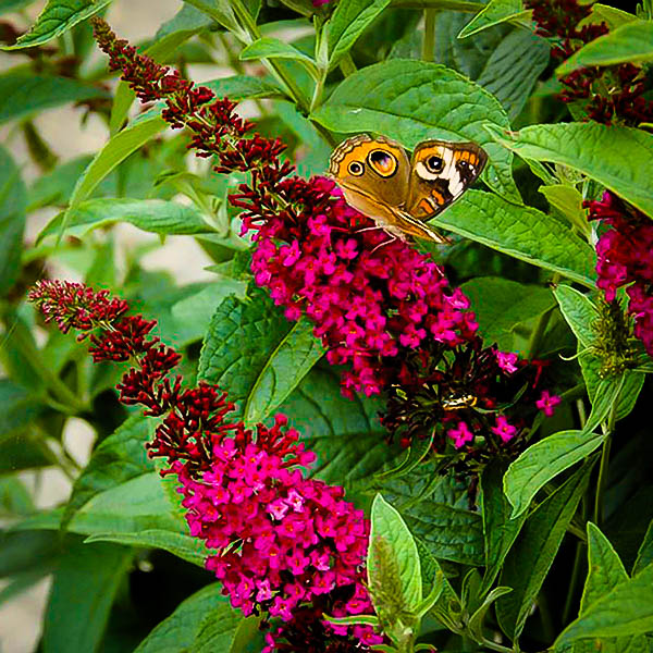 Miss Molly Butterfly Bush The Tree Center