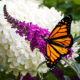 Butterfly Bushes for Every Garden