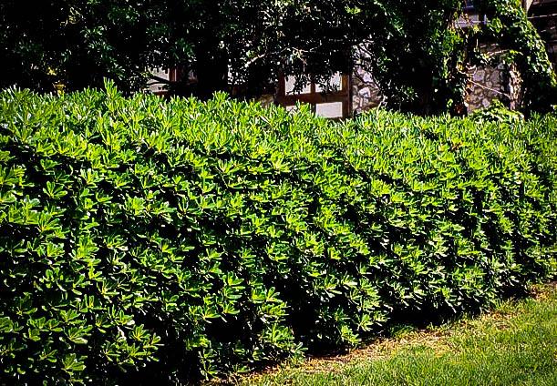 Mock Orange Shrubs For Sale Online The Tree Center