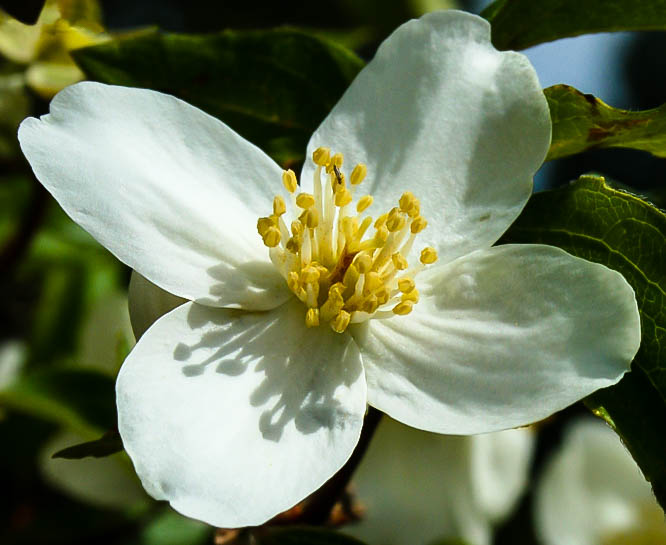 Mock orange the tree center plant hardiness zones 4 8 mightylinksfo