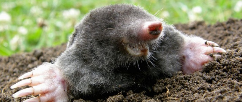 How to get rid of moles in yard?
