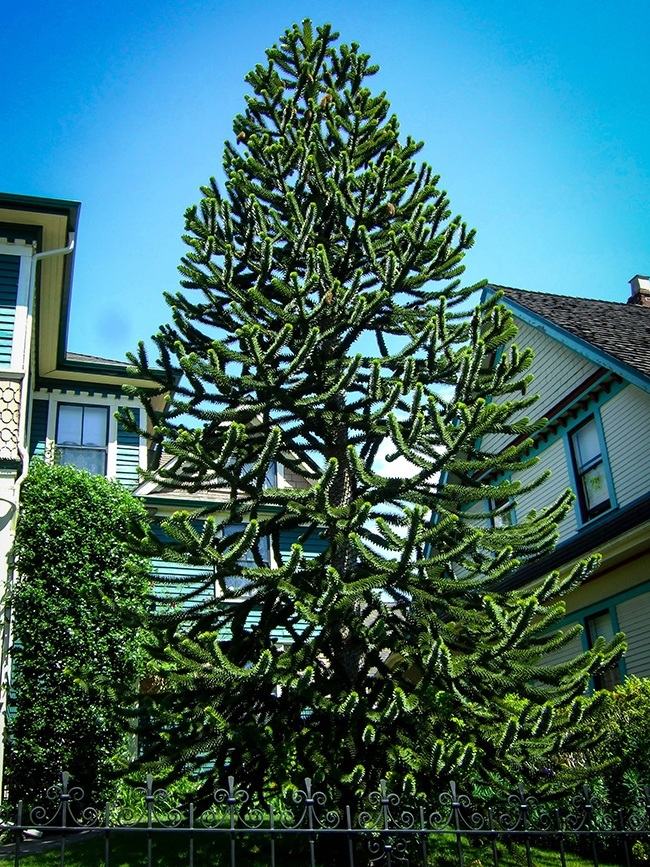 Buy monkey puzzle tree online the tree center for Tall evergreen trees for small gardens
