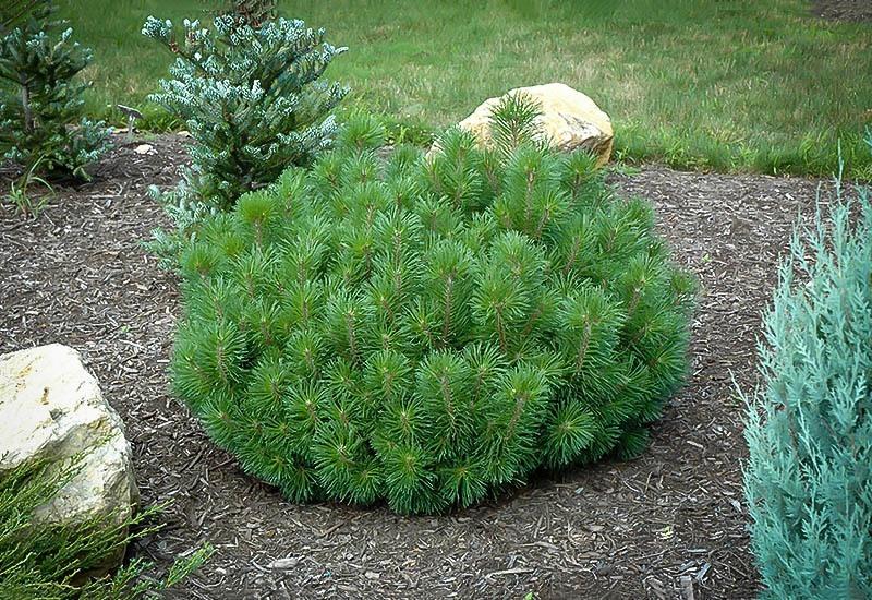 Mugo Pine The Tree Center