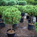 Mugo Pine Trees