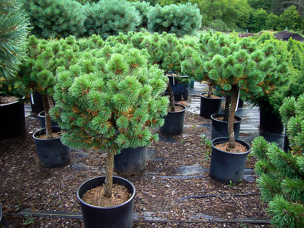 Mugo pine tree for sale online the tree center for Mature pine trees
