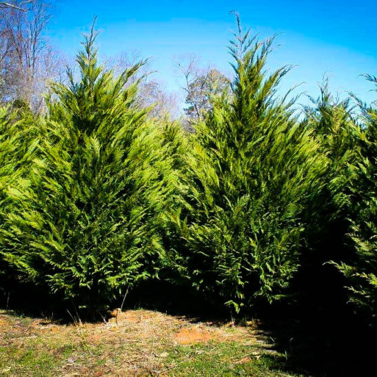 Murray Cypress | The Tree Center™