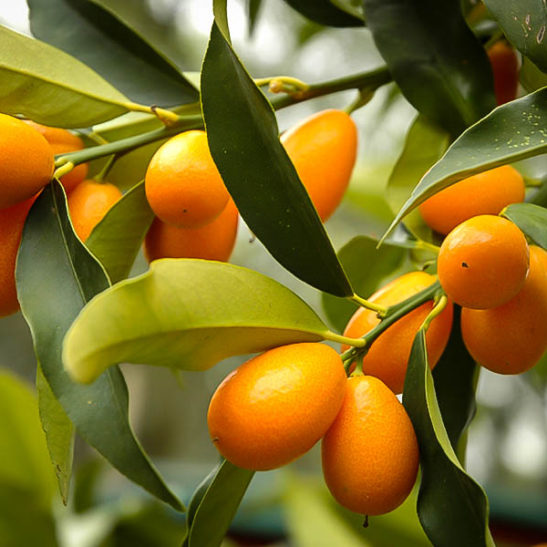 Nagami Kumquat Trees For Sale The Tree Center