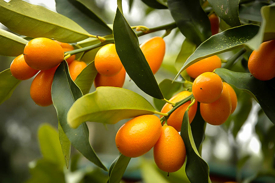 mature kumquat tree