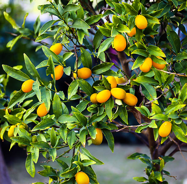 Nagami Kumquat Trees For Sale The Tree Center
