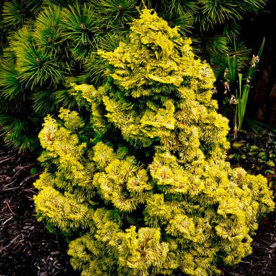 Nana Lutea Hinoki Cypress For Sale Online The Tree Center