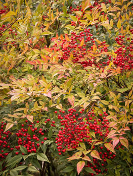 Nandina Heavenly Bamboo