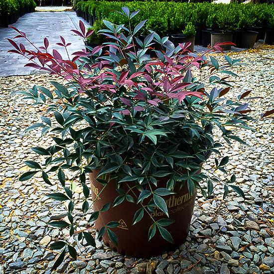 Flirt Nandina Plants For Sale Online The Tree Center