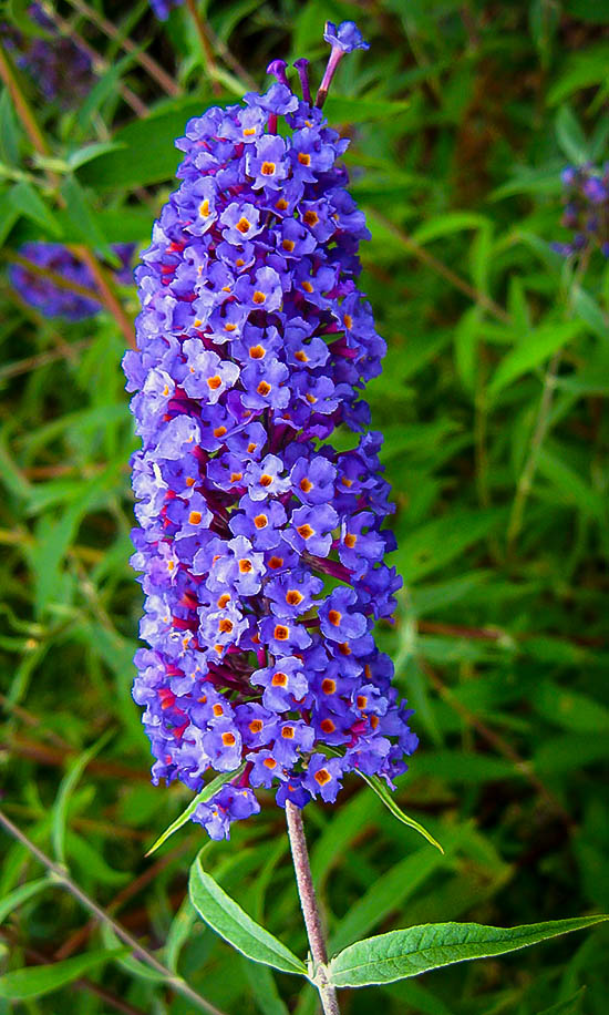 Nanho Blue Butterfly Bush The Tree Center