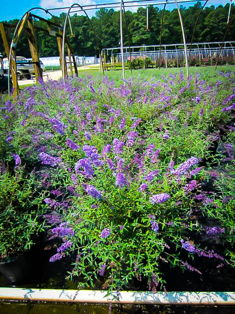 Nanho Blue Butterfly Bushes For Sale The Tree Center