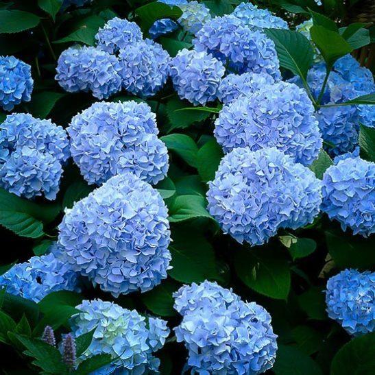 Nikko Blue Hydrangea The Tree Center