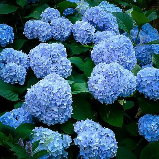 Nikko Blue Hydrangea For Sale Online The Tree Center